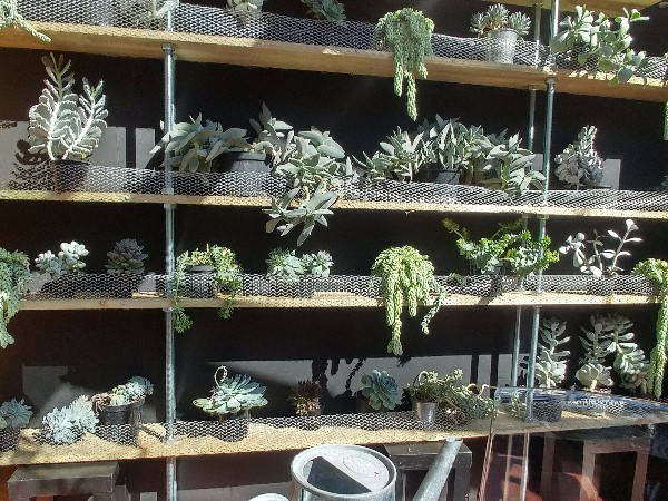 Succulents at Veddw, copyright Anne Wareham