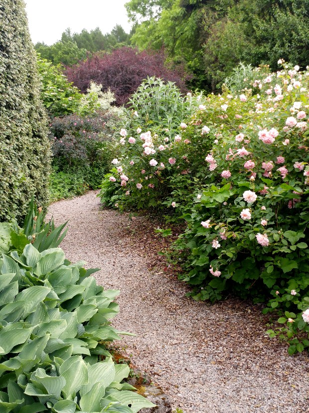 Rosa Felicia and hosta Krossa Regal at Veddw copyright Anne Wareham