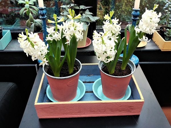 Hyacinths at Veddw, copyright Anne Wareham