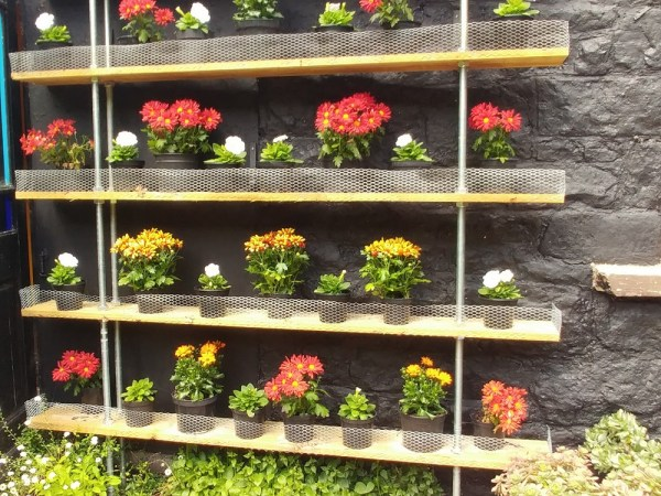 Chrysanthemums on plant shelving, Veddw copyright Anne Wareham