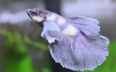 Betta Fish Common Diseases