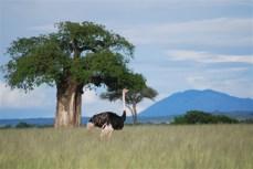 Een struisvogel op de open vlakte.