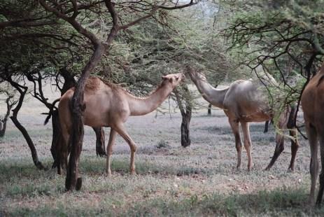 Deze dromedarissen zitten duidelijk niet in hun natuurlijke omgeving... Ze zijn eigendom van de Maasai