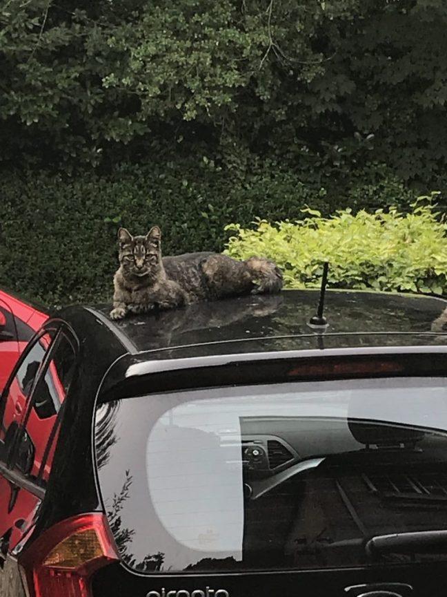 ibbe ligt op een auto