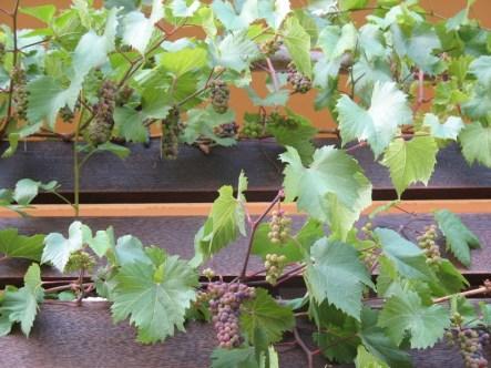 Balkongarten - Weintrauben