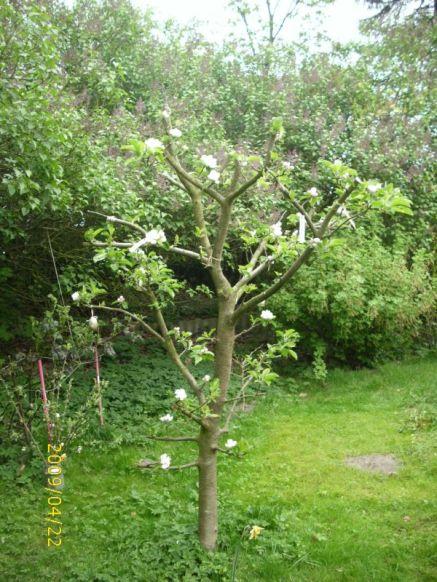 Apfelbaum blüht