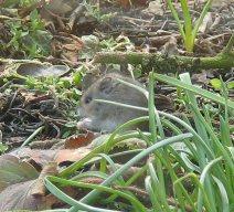 Junge Maus