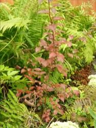 Junger Kirschpflaumenbaum