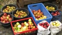 Apfel- und Birnenbeute