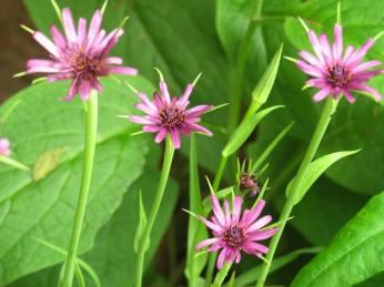 Haferwurz-Blüte