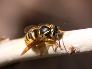 Wespe sammelt Holzfasern
