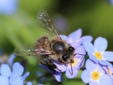 Wildbiene am Vergissmeinnicht