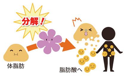 ② 今ある脂肪を分解する!! / 葛の花 3大パワー