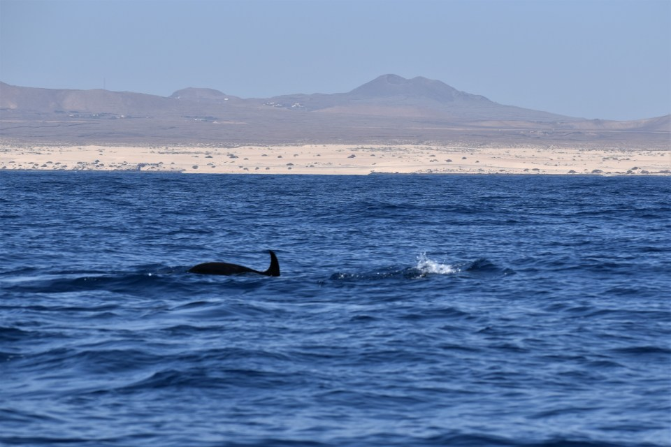 Dolphins swimming and Corralejo Sand dunes visible in the background.