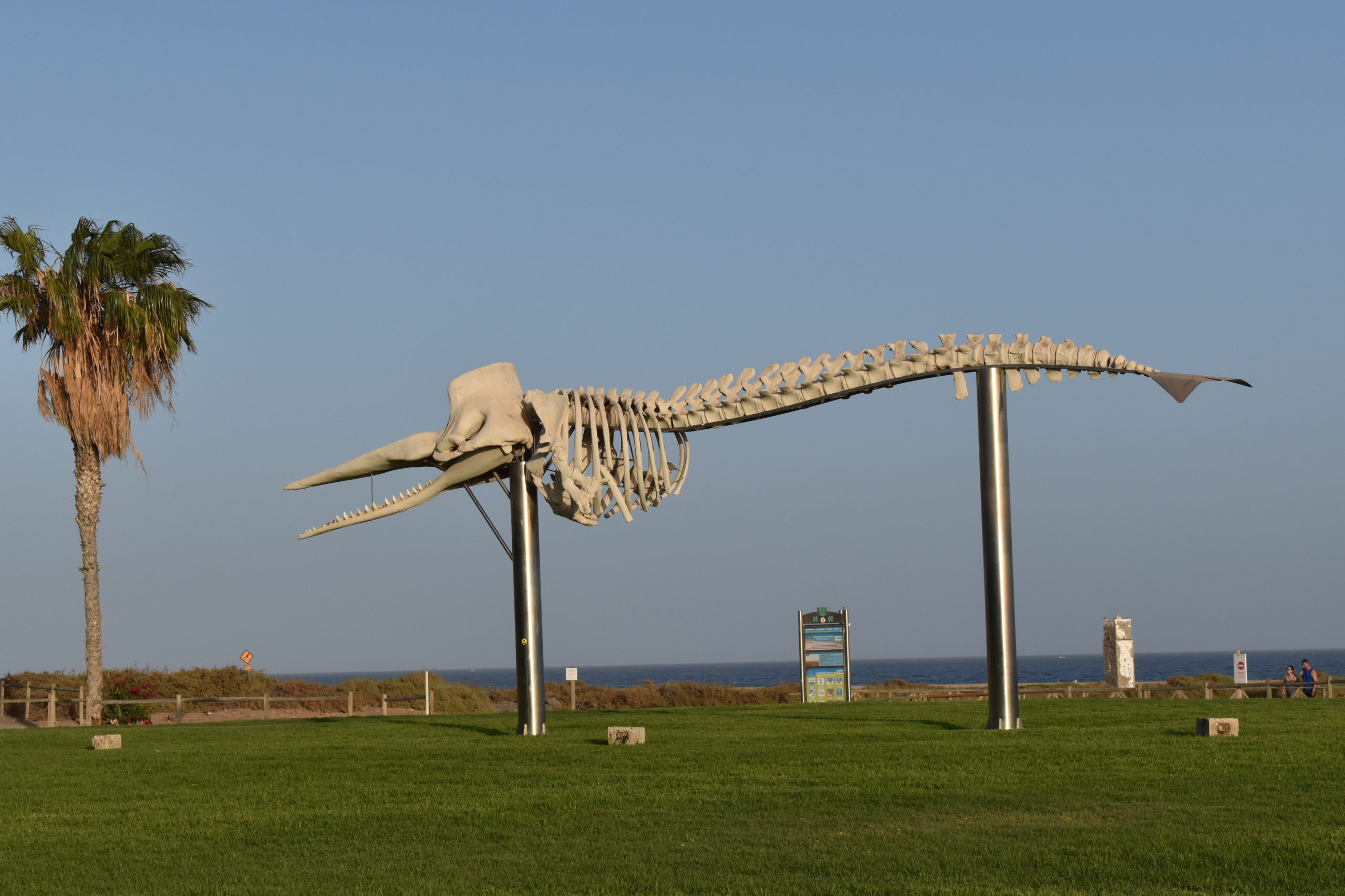 Morro Jable whale skeleton