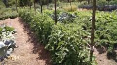 Tomatoes, 7-10-2016