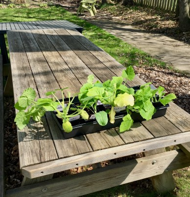 Squash and Zucchini; Garden
