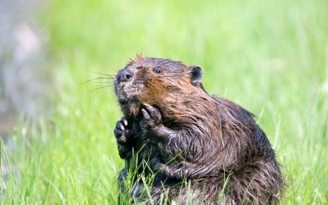 A hódmirigy-váladék egy állati eredetű adalékanyag