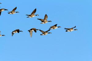 gansos en vuelo
