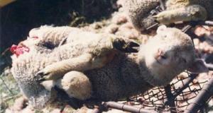 maltrato lana