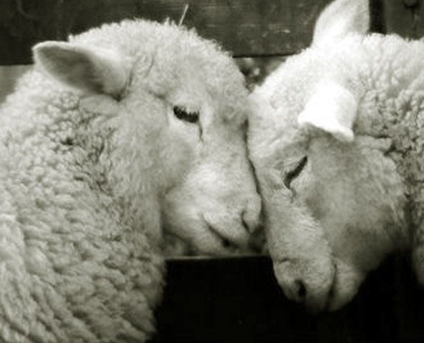 sheep-in-love