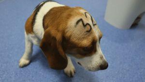 veganism.es Beagle laboratorio-de-investigacion-Viotecnia