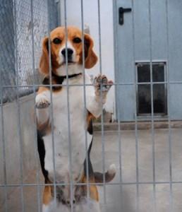 uso de perros en experimentacion animal