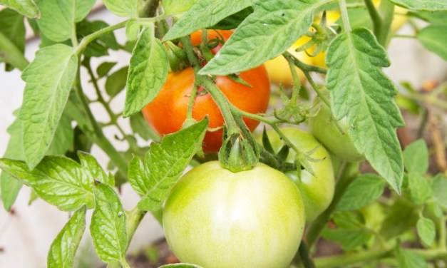 Tomaten, zalig genieten van eigen kweek
