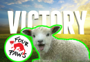 228 Sheep on sinking boat saved Romania end live export four paws international