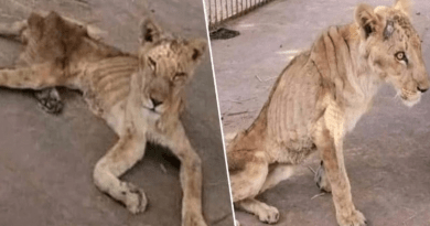 These lions at a Sudan zoo are starving to death and need our help!