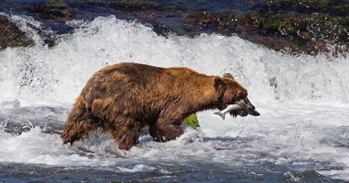 Climate change the ever present modern catastrophe made by man is now affecting Alaskan Bears and Sockeye Salmon.