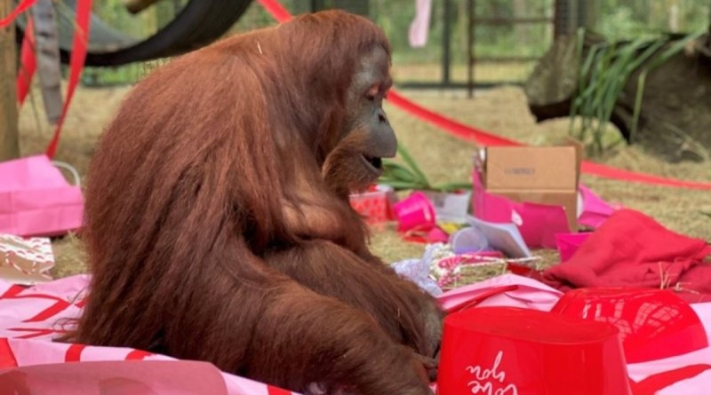 An orangutan named Sandra, who was granted legal personhood by a judge in Argentina and later found a new home in Florida, celebrated her 34th birthday on Valentine's Day with a special new primate friend.