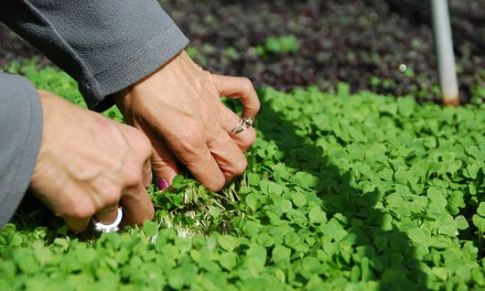 Guest Post: DIY Microgreens with Hydroponics