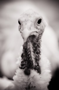 Turkey portrait