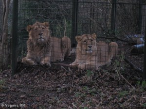 Big cats caged