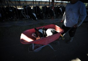 The calf is wheeled away like rubbish
