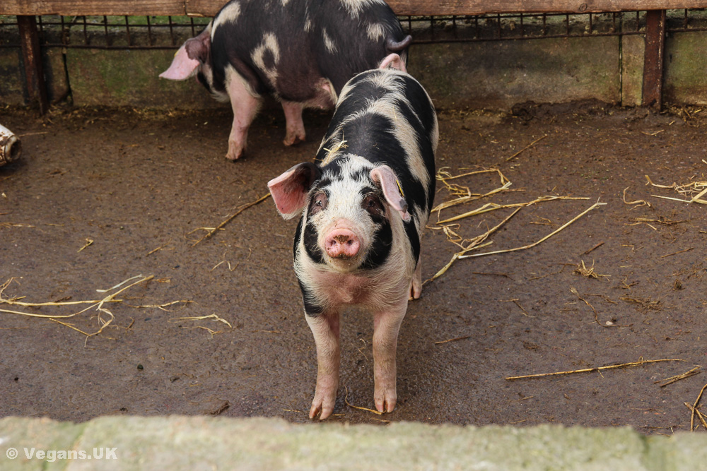 We cheer for pigs, then eat them. Why?
