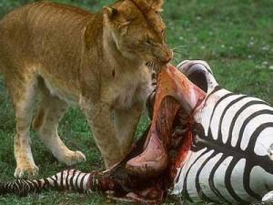 lion_killing_prey-300x225