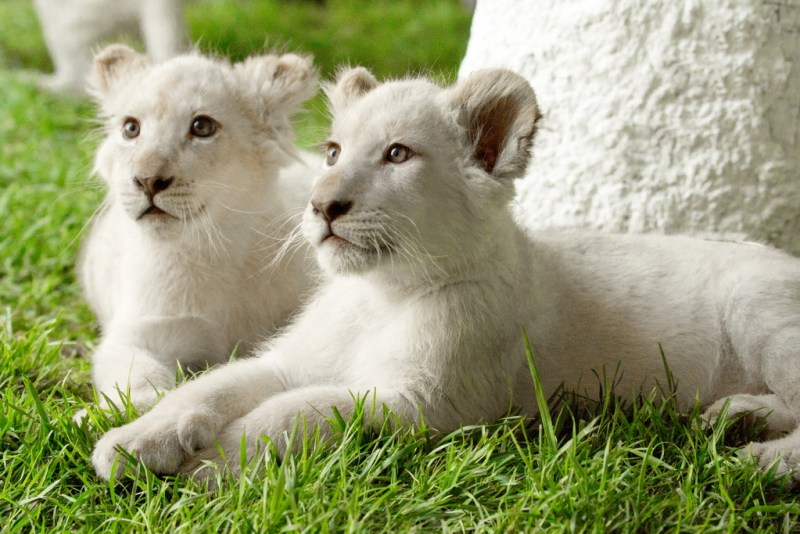 Timba-Masai (L) and Freedom (R) rest under a tree at Siegfried & Roy's Secret Garden