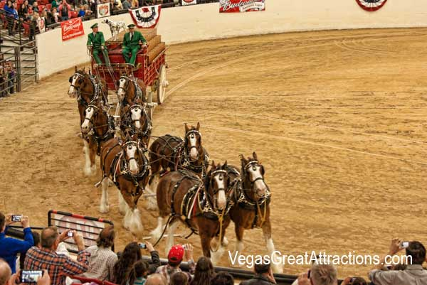Budweiser Clydesdale making the tour of the arena