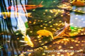 Fish pond at the Chinese New Year 2015, Bellagio, Las Vegas