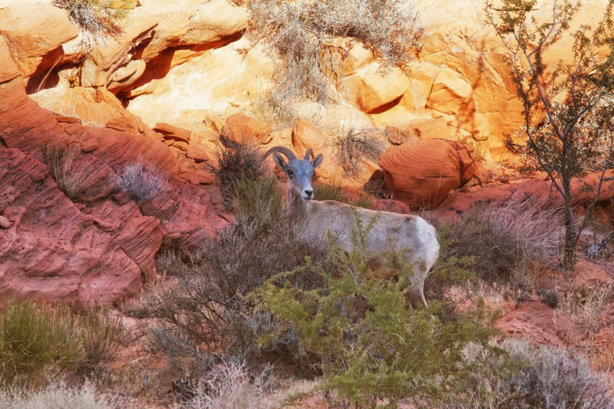 Desert bighorn sheep valley of fire