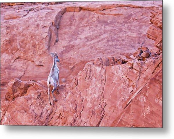 Desert Bighorn Sheep At Valley Of Fire Art Print