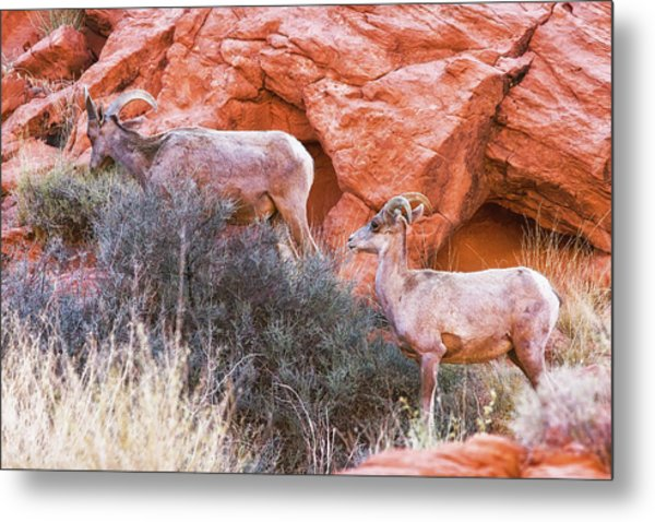 Desert Bighorn Sheep Art Print