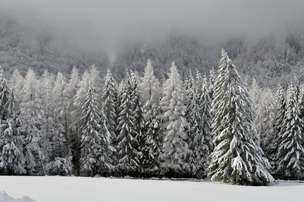Beautiful snow covered christmas trees in a forest