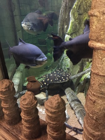 Three small blue fish and one spotted black fish swimming in the aquarium