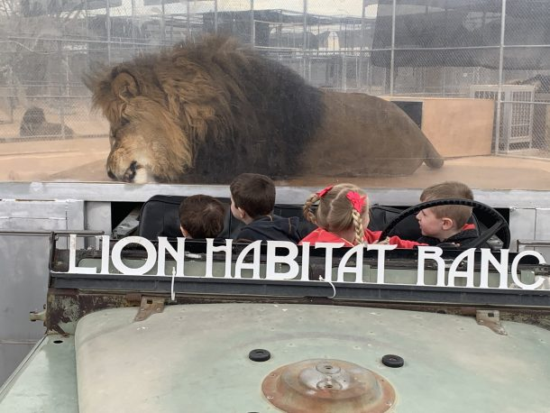kids sitting in jeep at lion habitat ranch staring at large lion behind them