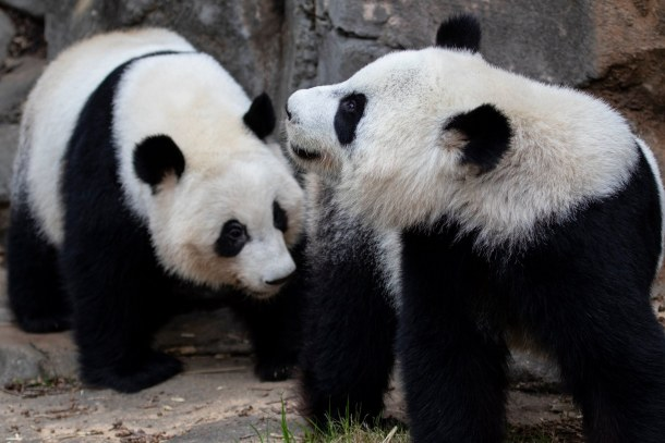 live panda cam virtual animal experiences at Zoo Atlanta