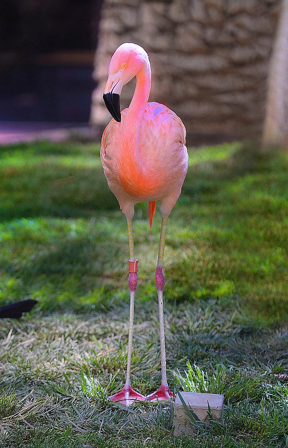 Flamingo Las Vegas Celebrates the 21st Birthday of Peachy the Flamingo Just in Time for Pink Flamingo Day
