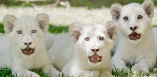 The Mirage welcomes three new lion cubs, Madiba (L), Freedom (C) and Timba-Masai (R), to Siegfried & Roy's Secret Garden and Dolphin Habitat.
